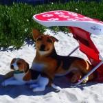 ShadyPaws Pet Travel Canopy 19(1)